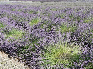 WHB#46 Lavendelfeld 003