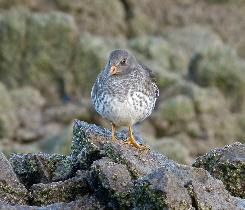 P1060754 - Purple Sandpiper, Port Eynon