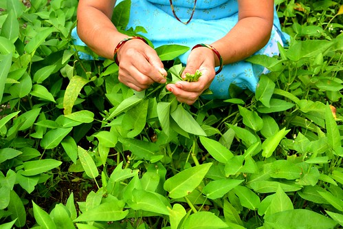 A woman picks water spinach...