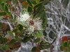 Varnished Gum Eucalyptus vernicosa MYRTACEAE on Sentinel Range