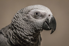 wing(0.0), pet(0.0), parakeet(0.0), animal(1.0), parrot(1.0), fauna(1.0), close-up(1.0), beak(1.0), african grey(1.0), bird(1.0),