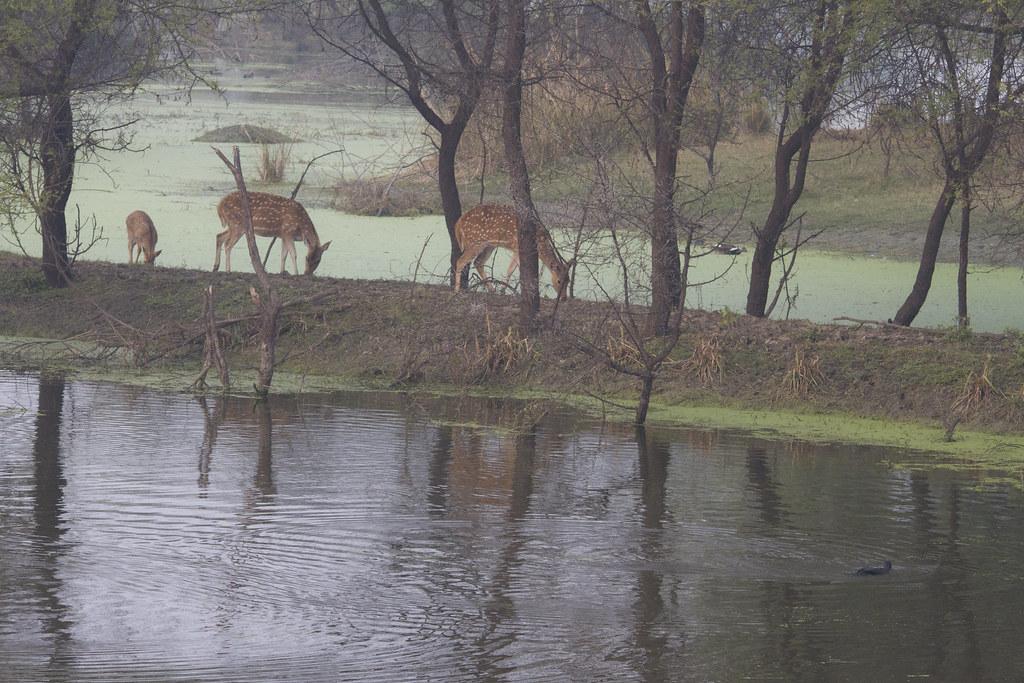 13_01_20142824055589_spotted_deer