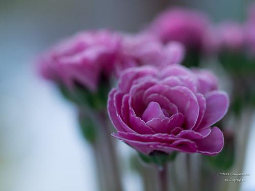Ein Frühlingsgruß in rosa