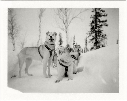 Winter Trail Dogs