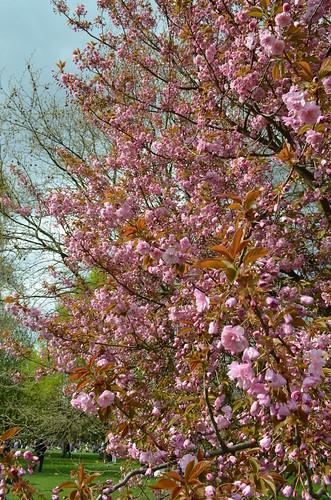 Berlin Cherry Blossom Festival Kirschbluetenfest Gaertens der Welt Erholungspark Marzahn_cherry blossoms in park_vertical