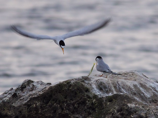 Least Tern feeding sequence 04-20140416