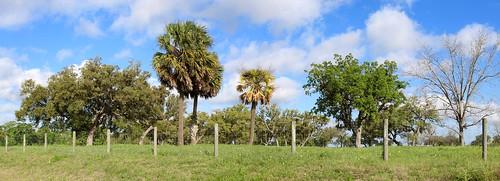 texas palm tree panorama