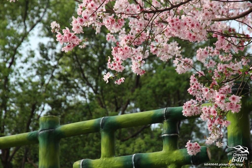 淡水天元宮櫻花-32