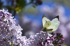 Papillon de rêve