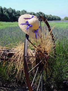 Lavender Fiields, Highland Springs Ranch, CA 7-11