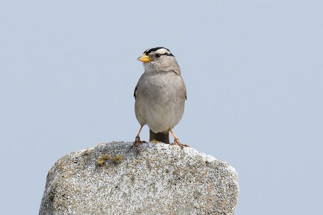DSC 3898.jpg White-crowned Sparrow, Nikon D7200, AF-S Nikkor 300mm f/4E PF ED VR