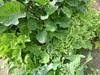 Three Perennial Kales