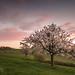 Kirschbaum / Cherry tree by Claudia Bacher Photography
