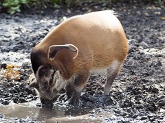 Brown African River Hog Playing in The Mud