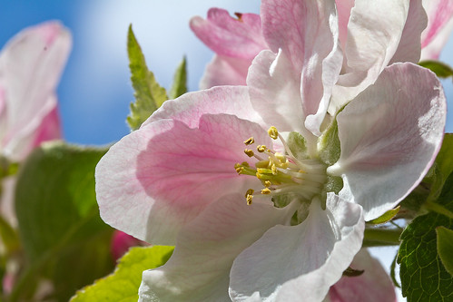 Farewell beautiful pink blossom - see you when you are apples