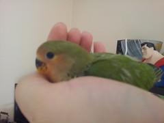 animal, lovebird, parrot, pet, parakeet, common pet parakeet, beak, bird,