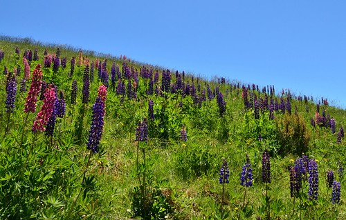Lupins growing wild near Falls Creek