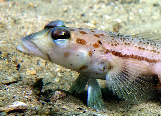 Spotted grubfish - Parapercis ramsayi