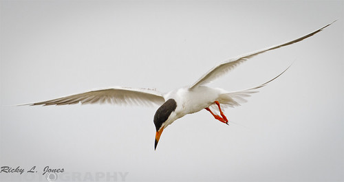 Common Tern by Ricky L. Jones Photography