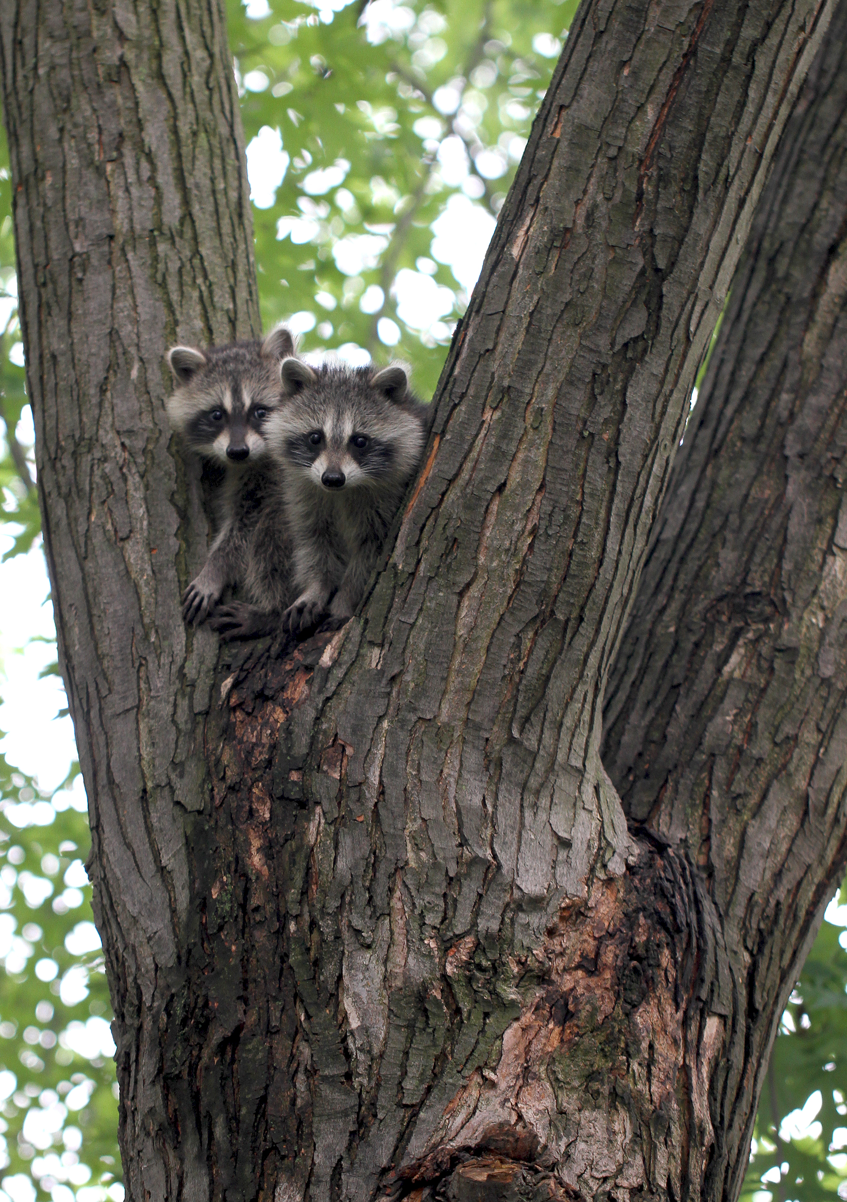 raccoon kits5