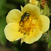 Leafy Cinquefoil - City of Boulder, Colorado - Open Space & Mountain Parks