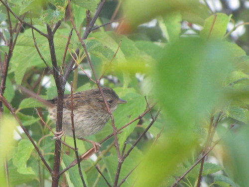 Swamp Sparrow (young)