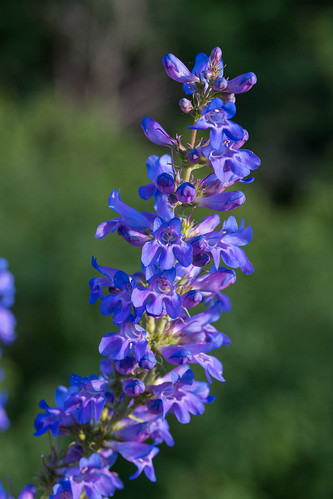Penstemon payettensis by andiwolfe