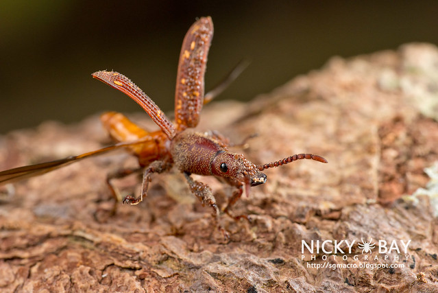 Straight-Snouted Weevil (Brentidae) - DSC_1496