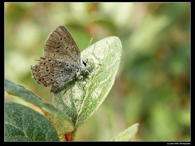 Northern blue butterfly (Lycaeides idas)