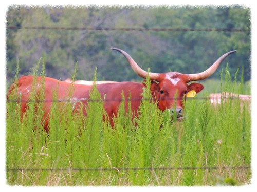 usa cow texas horns longhorn steer barbedwirefence montgomerycounty magnoliatx flyingdranch