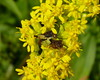 More mating ambush bugs by Dendroica cerulea