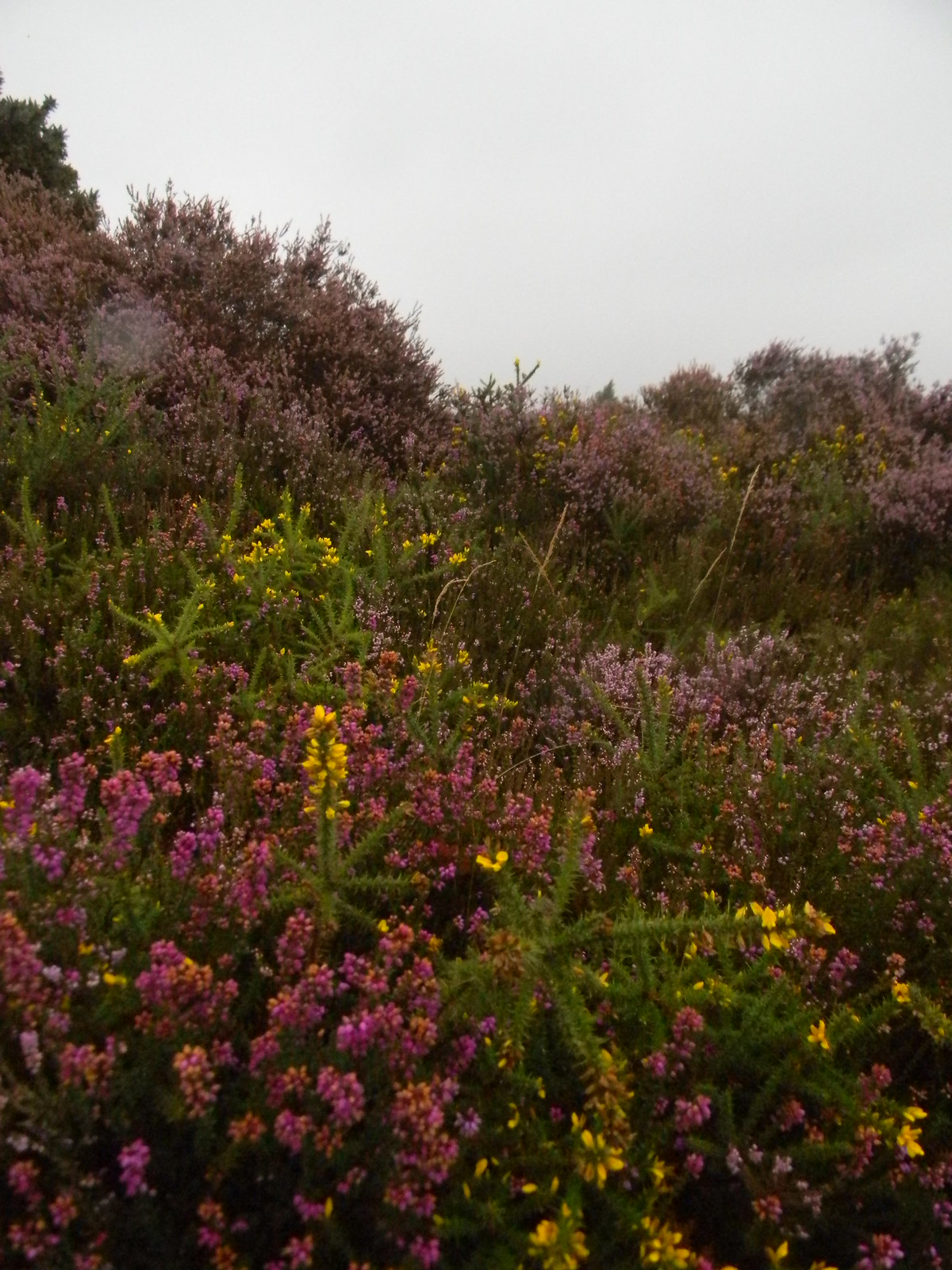 Heather and gorse Milford to Haslemere