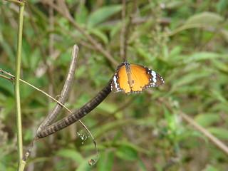 086 Kleine monarchvlinder