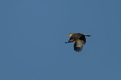 Woodpecker_45440.jpg by Mully410 * Images