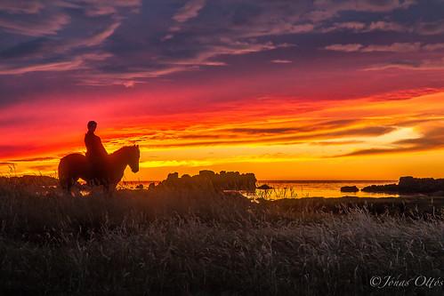 ocean autumn sunset red sky horse orange sun fall animals yellow clouds reflections iceland rocks rider equestrian horseback horsebackriding akranes icelandichorse sólsetur 2013 canoneos7d miðvogur canon1755f28usmis