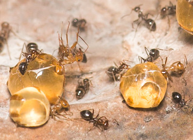 Closeup on honeypot ants (Myrmecocystus mimicus) at Oakland Zoo