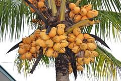 date palm(0.0), papaya(0.0), borassus flabellifer(0.0), branch(0.0), plant(0.0), produce(0.0), food(0.0), arecales(1.0), coconut(1.0), tree(1.0), fruit(1.0),