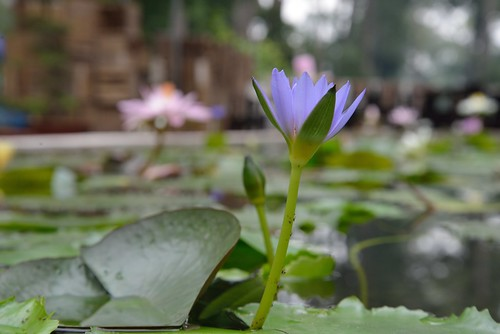 Water Lily, in a park, in Saigon by kewl