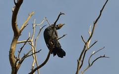 Cormorant 5