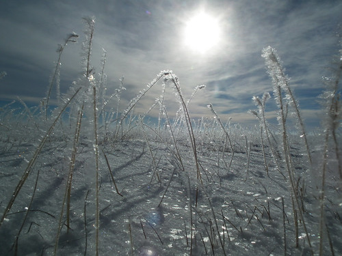 On January 9, 2014, the weather cooperated (the temperature was about 15 degrees) while NRCS met with ranchers to inspect their completed burial pits. In this photo, the heavy fog and cold temperatures created a frost on the blue grama stems.