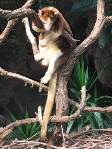 Matschie's tree kangaroo by Coyoty