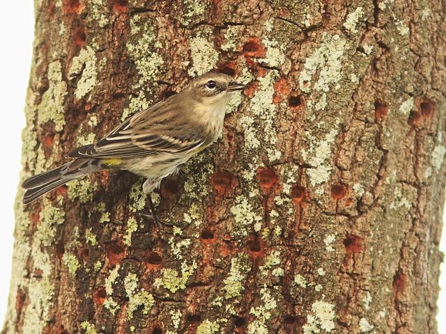 Yellow-rumped Warbler sap-stealer 2-20140223