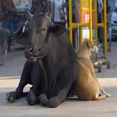 è il cane che sostiene la mucca