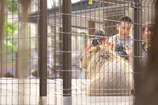 東京路地裏散歩 上野動物園のカピバラ マオ 2014年3月29日