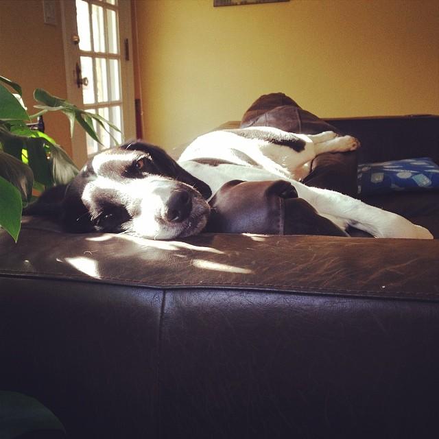Sun dog. #teddy #teddarcheese #teddyonmycouch #boingle #boinglesofinstagram