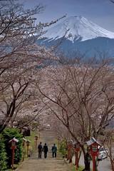 新倉富士浅間神社の桜 - Mt.Fuji over cherry blossom