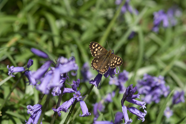 182: Speckled Wood