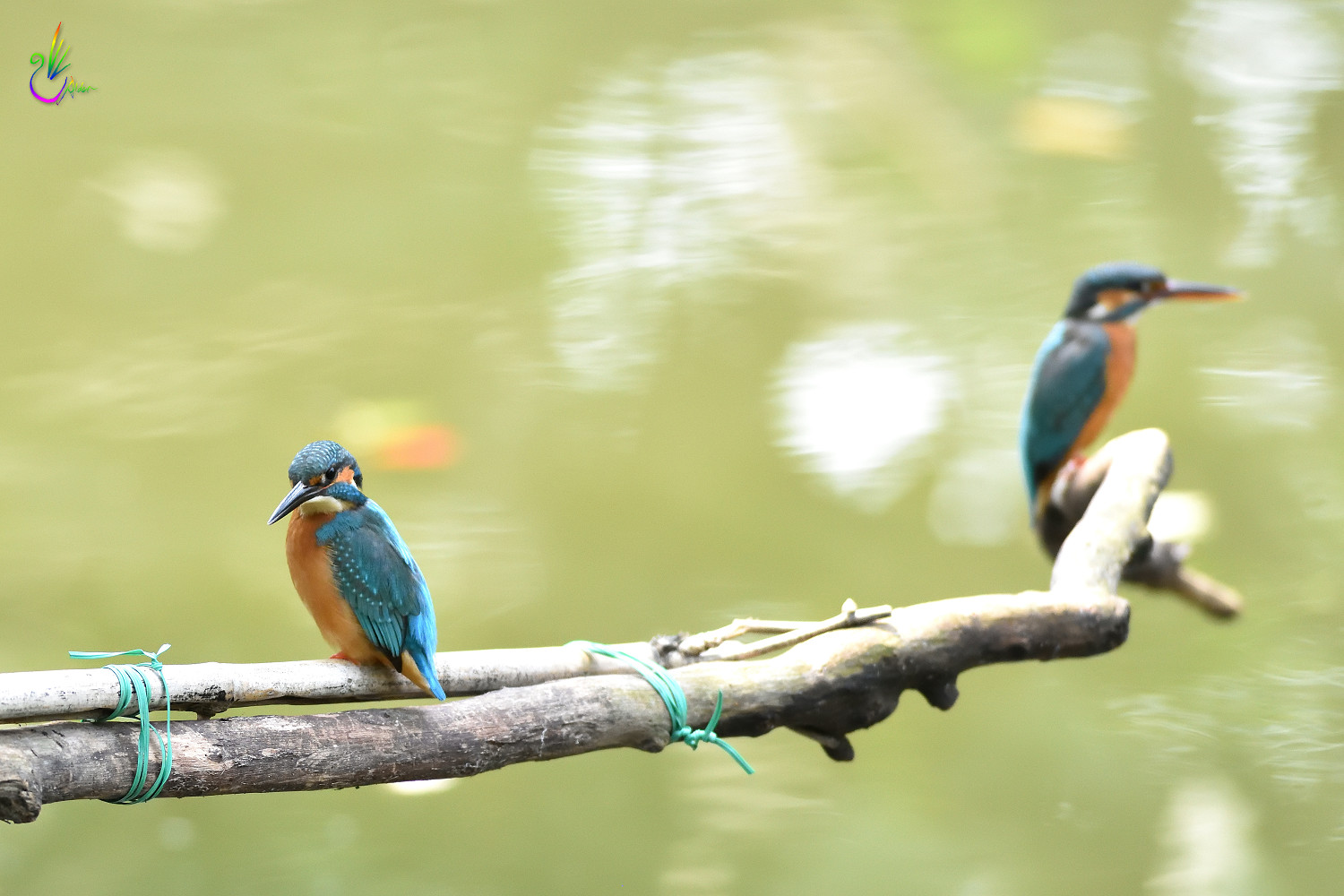 Common_Kingfisher_6961
