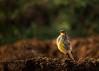 Yellow Wagtail (மஞ்சள் வாலாட்டி குருவி)