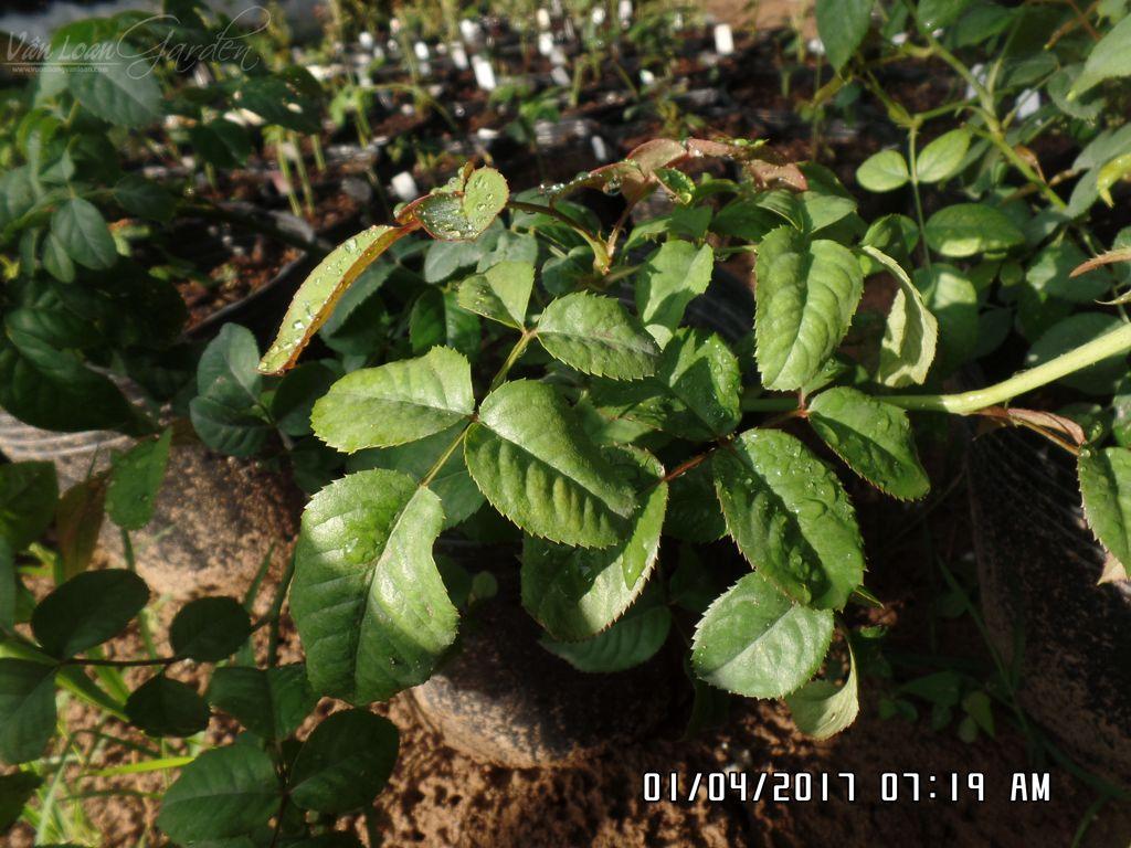 Hình dáng lá của hồng cắt cành SWEET VUVUZELA rose